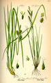 Illustration Carex brachystachys0.jpg