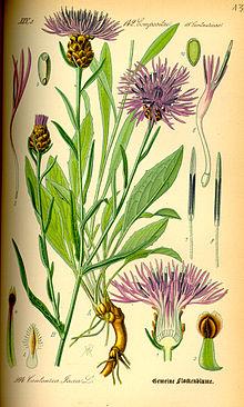Василек луговой цветок фото