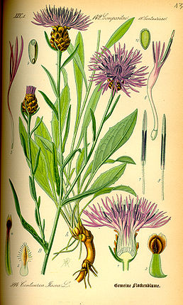 Illustration Centaurea jacea0.jpg