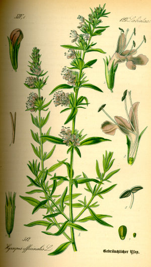 Hyssopus officinalis - Image: Illustration Hyssopus officinalis 0