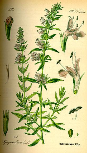 Hyssopus officinalis - 1885 illustration