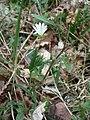 Ilsington Woods, Greater Stitchwort - geograph.org.uk - 748433.jpg