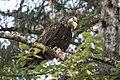 Immature Eagle with Salmon (27923347040).jpg
