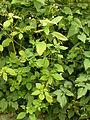 Impatiens parviflora (7914566966).jpg