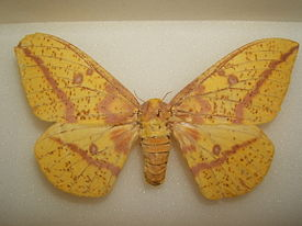 Imperial moth female sjh.JPG