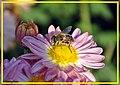 In search of honey - panoramio.jpg