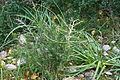 Inca - Puig de Santa Magdalena - Asparagus albus 01 ies.jpg