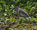Indian Pond Heron (Ardeola grayii) with a big catch W IMG 3924.jpg