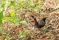 Indian Robin.jpg