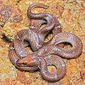 Indian wolf snake Lycodon aulicus by Ashahar alias Krishna Khan Amravati.jpg
