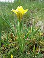 Iris humilis subsp. arenaria sl12.jpg