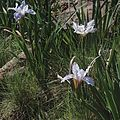 Iris munzii—RPBG.jpg