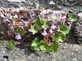 Ivy-leaved toadflax 800.jpg