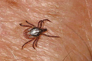 <i>Ixodes ricinus</i> species of hard-bodied tick