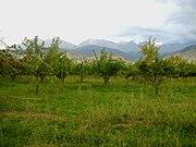 Jabloňový sad, Tamga