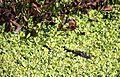 Jacaré do Pantanal 3.jpg