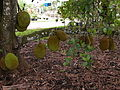 Jackfruit Cheena02 Asit.jpg