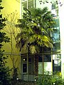 January Frost Botanic Garden Freiburg Hanfpalme des Directors - Master Botany Photography 2014 - panoramio.jpg
