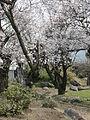 Japanese Cherry Blossom -桜- (3430420187).jpg