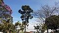 Jardim com Araucária, Taubaté.jpg