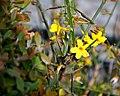 Jasminum floridum Showy Jasmine ყვითელი ჟასმინი.JPG