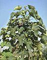 Jatropha curcas1 henning.jpg