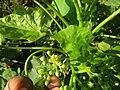 Jatropha curcas at thenmala 2014 (4).jpg