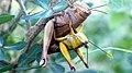 Javanese grasshopper.jpg
