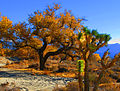 Joshua Tree in Fall (4161036041).jpg