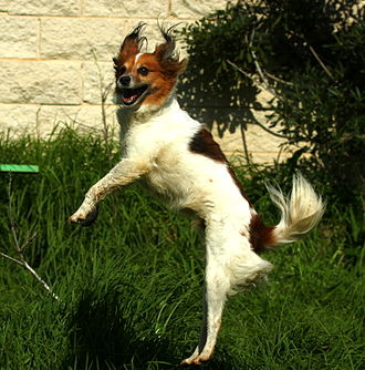 Jumping - A dog jumping from a stationary position