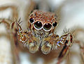 Jumping spider in my room 1.jpg