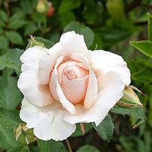 Amature wild rose