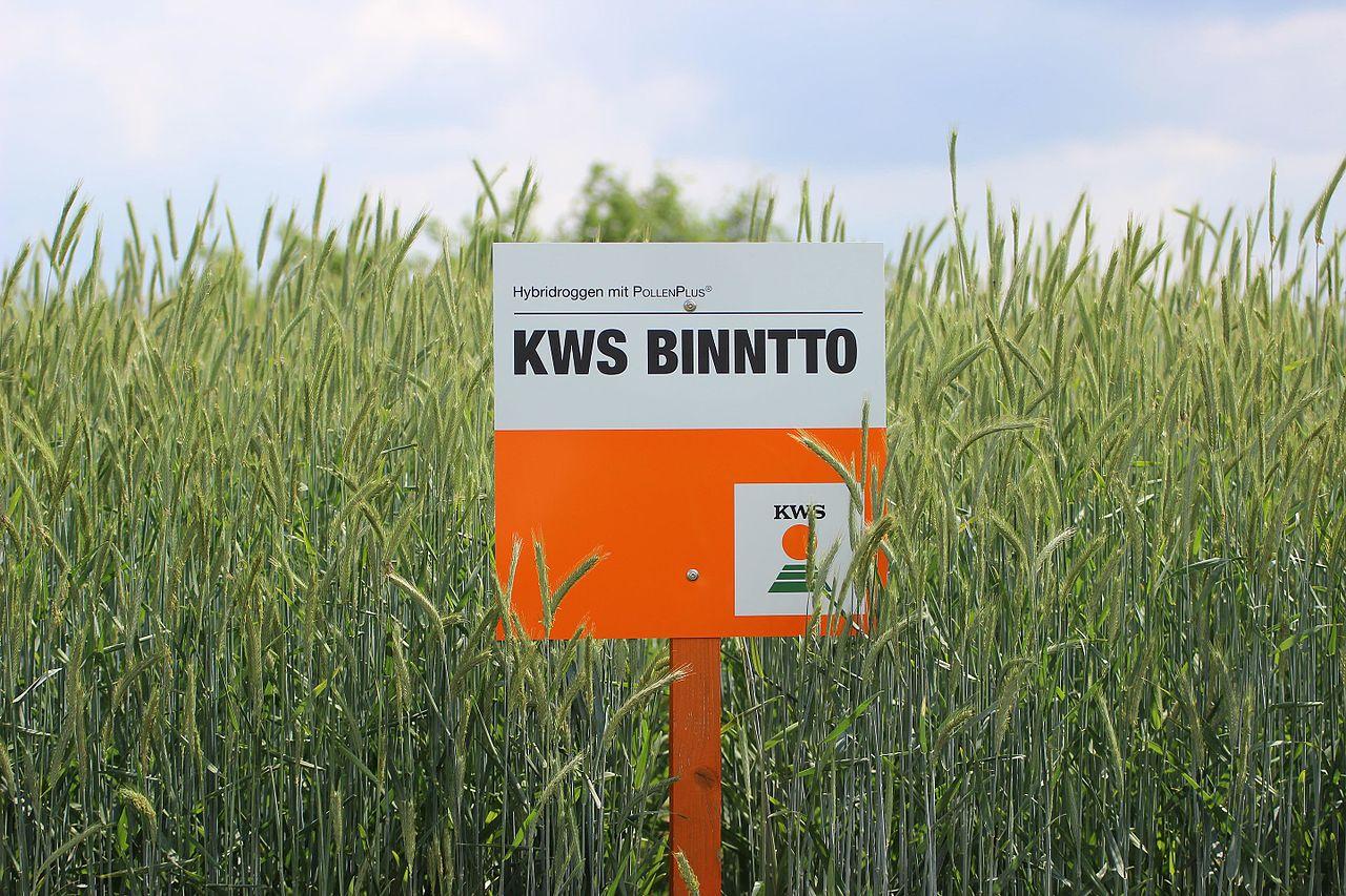 Hybridroggen-Sorte KWS BINNTTO,