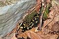 Kaiserwald Salamandra salamandra 02.jpg