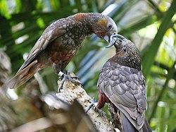 Nestor Meridionalis o Kaka 250px-Kaka-Parrots
