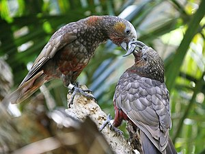 Monogamy - A pair of New Zealand kaka parrots at Auckland Zoo.