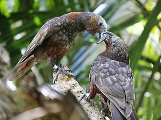 New Zealand kaka - A pair of North Island kaka (N. m. septentrionalis) at the Auckland Zoo, New Zealand