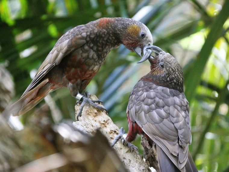 Kaka-Parrots