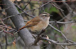 Kalahari scrub robin - At Pilanesberg Game Reserve