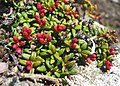Kalmia procumbens 2007-06-22 1.jpg