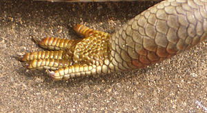 Lepidosauria - The foot of a skink, showing lepidosaurs' characteristic overlapping scales