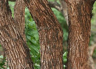 Senegalia catechu - Senegalia catechu trunks