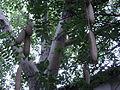 Kigelia africana-2.JPG