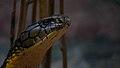 King cobra look from trivandrum zoo.jpg