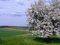 Kirschblüte bei Calw-Stammheim - panoramio.jpg