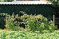 Kluse - Rubus phoenicolasius - Japanische Weinbeere 01 ies.jpg