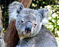 Koala.Birdland Animal Park Batemans Bay NSW. (21197082092).jpg