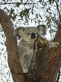 Koala Bär Bear Autralien (129366101).jpeg