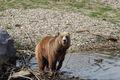 Kodiak Bär.jpg
