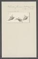 Kolpoda cuneus - - Print - Iconographia Zoologica - Special Collections University of Amsterdam - UBAINV0274 113 14 0007.tif